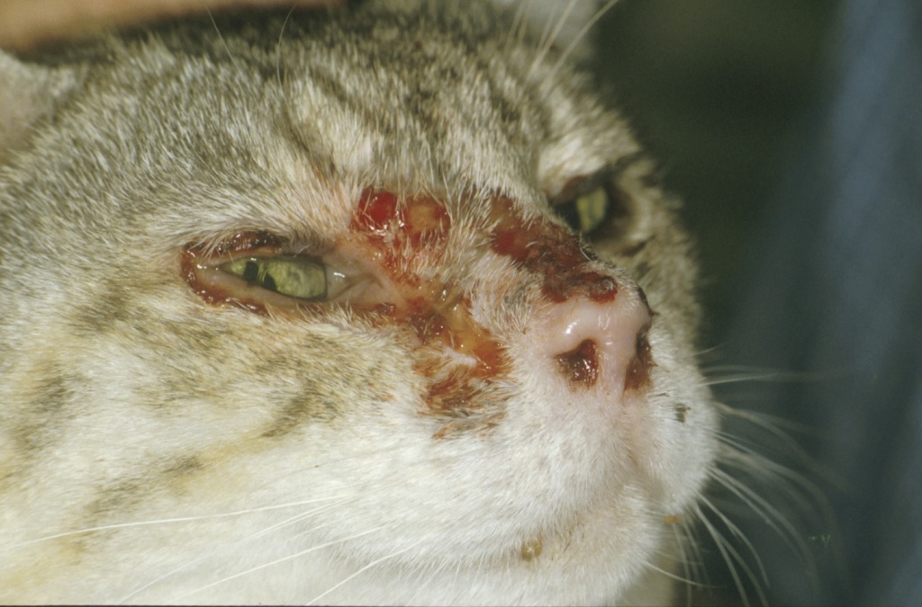 Feline Calicivirus infection |