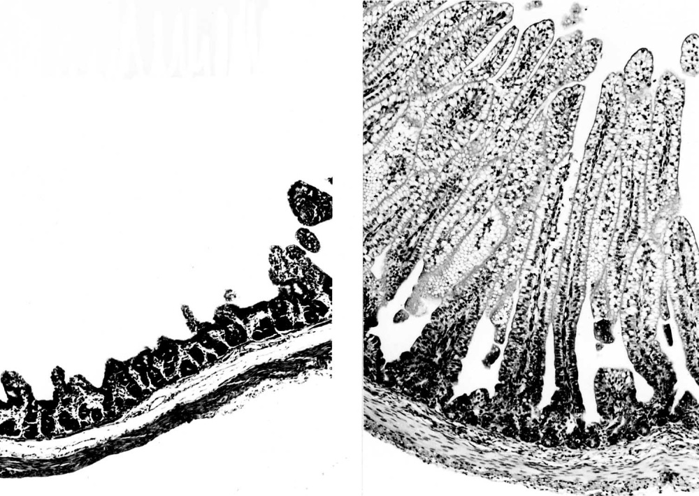 Fig. 6. Damage to the gut epithelium after an FPLV infection (left); the villi have virtually disappeared. A normal gut is shown for comparison (right)