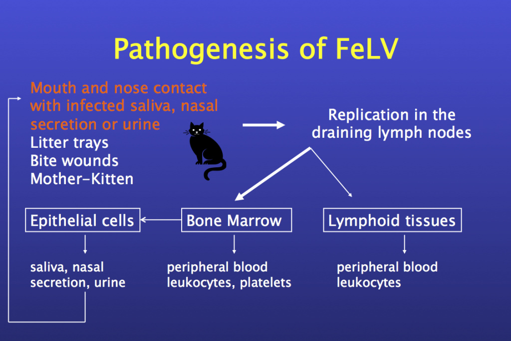 Fig. 6. Pathogenetic pathways of the FeLV infection © Hans Lutz
