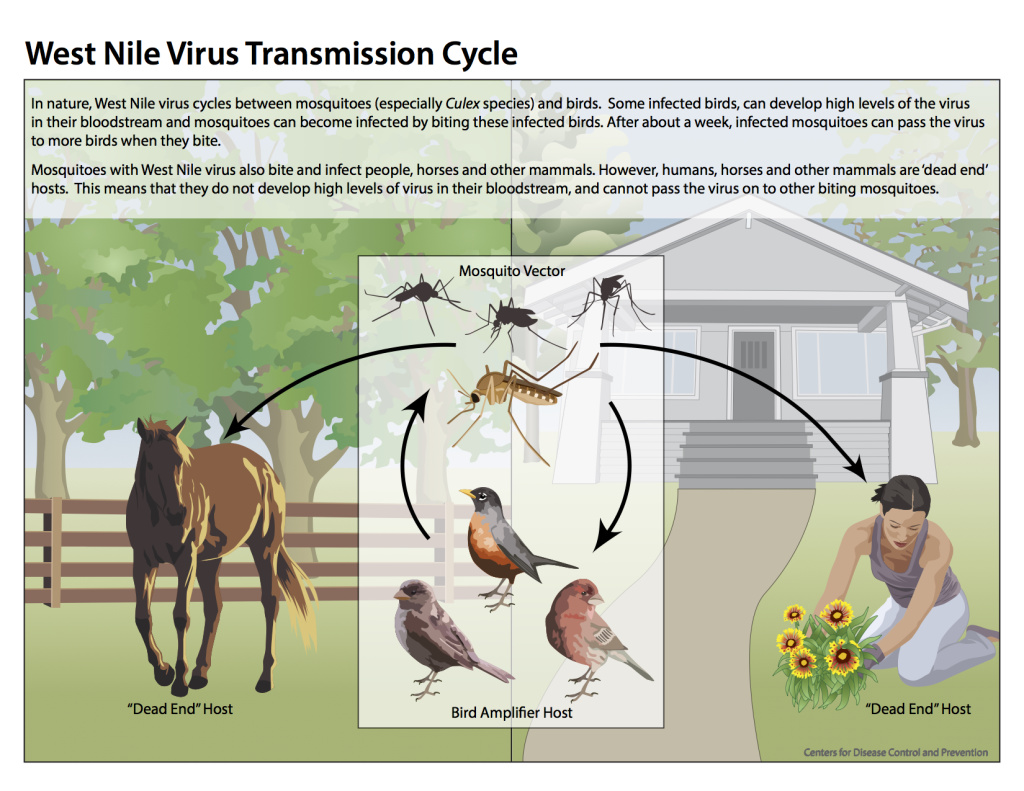 West Nile virus transmission cycle © Centers for Disease Control and Prevention