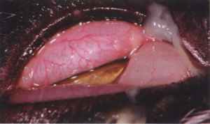 Fig. 2. Purulent conjunctivitis and chemosis in a cat with Chlamydophila felis infection. Courtesy of Eric Déan