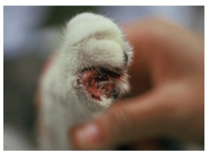 Fig. 1. Ulcerative lesions around the claw in a cat with sporotrichosis (Courtesy of Dr Larsson, São Paulo, Brazil)
