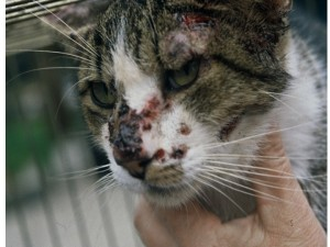 Fig. 2. Ulcerative crusted lesions in the facial area of a cat with sporotrichosis (Courtesy of Dr Larsson, São Paulo, Brazil)