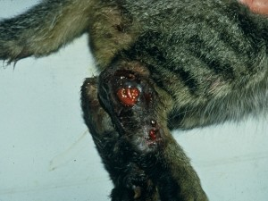 Fig. 4. Ulcerative lesions on the hind limb of a cat with sporotrichosis (Courtesy of Dr Larsson, Sao São Paulo, Brazil)