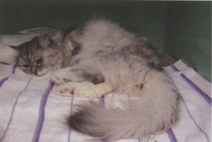 Fig. Cat with toxoplasmosis with myositis caused by T. gondii cysts. The cat presented in lateral recumbency, was unable to get up, and showed severe muscle hyperesthesia (courtesy of Katrin Hartmann, Medizinische Kleintierklinik, Ludwig-Maximilians-Universitaet Muenchen, Germany).