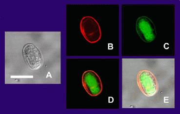 "Fig. 1. Multiple views of a Giardia lamblia cyst (bar = 10 micrometers. (A) transmission (differential interference contrast) microscopy, (B) cyst wall selectively imaged through use of fluorescent-labelled (TRITC) antibody; (C) cyst imaged through use of carboxy fluorescein diacetate, a viability stain; (D) composite image of (B) and (C). (E) is a composite image of (A), (B), and (C). ""Giardia"". Licensed under Public Domain via Commons - https://commons.wikimedia.org/wiki/File:Giardia.jpg#/media/File:Giardia.jpg"