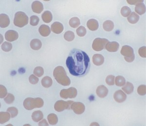Fig. 1. Hepatozoon felis gamont within a neutrophil in a cat blood smear. Courtesy of Prof. Gad Baneth, School of Veterinary Medicine, Hebrew University, Jerusalem, Israel.
