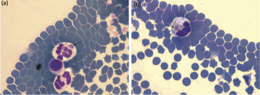 Fig. 1. Presence of Anaplasma spp morulae (arrows) in neutrophils. Reprinted with permission from Adaszek et al., 2013.