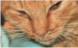 Fig. 3. Purulent nasal discharge and cough may be early signs of S equi subsp. zoopidemicus-related diseases in cats. Courtesy of Tadeusz Frymus, Faculty of Veterinary Medicine, Warsaw University of Life Sciences, Poland