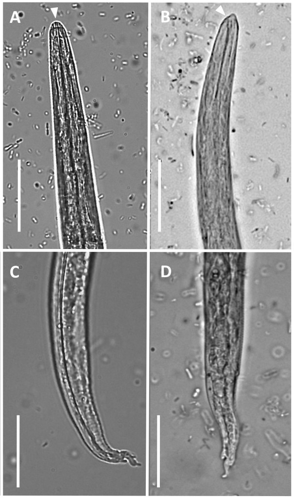 Fig. 5. Light microscopy. First stage larvae of Aelurostrongylus abstrusus (A-C) and Troglostrongylus brevior (B-D). A) Anterior extremity of A abstrusus, lateral view. Note the terminal oral opening (arrowhead). B) Anterior extremity of T brevior, lateral view. Note the pointed head and the sub-terminal oral opening (arrowhead). Morphology of tail of A abstrusus (C) and T brevior (D) showing a dorsal spine at the end of the tail. Scale bars = 25 mm. Courtesy of E. Brianti, University of Messina, Italy